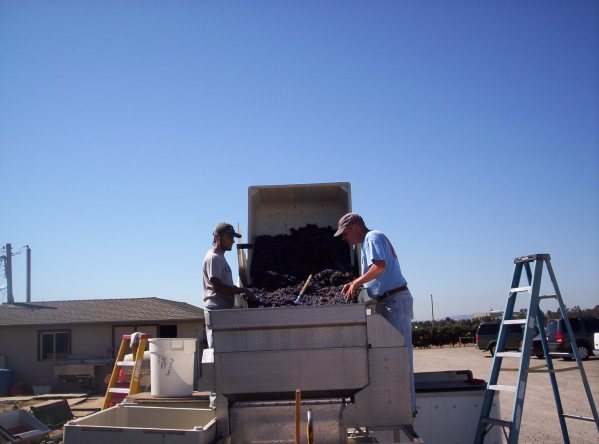 De-stemming of grapes during harvest at el Sol winery