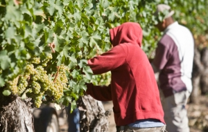 August 31st was the first day of Livermore Valley's Wine Harvest at Retzlaff Vineyards- The area's only organic winery!